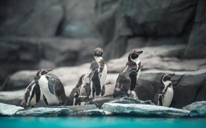 Pingwiny przylądkowe