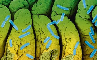 Escherichia coli, pospolita i niegroźna bakteria, czasem uzbraja się w niebezpieczną toksynę