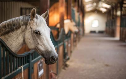 Sąd: bez odszkodowania za konieczność uśpienia konia poturbowanego przez innego konia