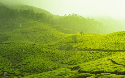 Powierzchnia do upraw herbaty może zmniejszyć się o 40%