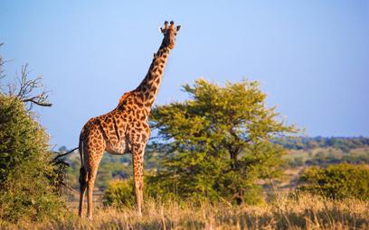 Czy żyrafom grozi wygnięcie?