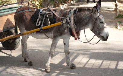 Szwajcaria: Myśliwy zastrzelił osły i uciekł