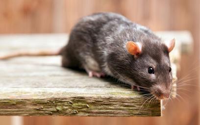Izrael: Naukowcy wydłużyli życie myszy. Metoda zadziała u ludzi?