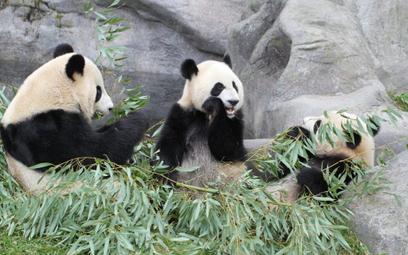 Er Shun z potomstwem - Jia Panpan i Jia Yueyue