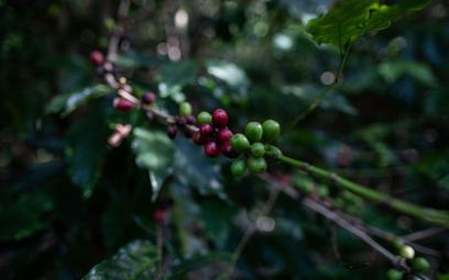 Ziarna brazylijskiej kawy mocno drożeją