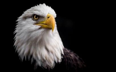 USA: Orły giną od kul, choć nikt do nich nie strzela