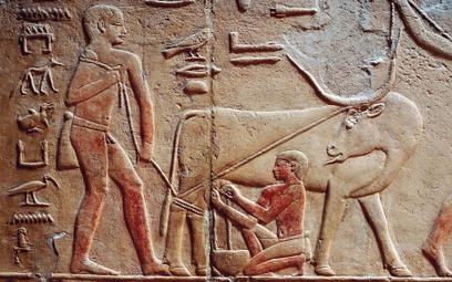 Mężczyzna dojący krowę. Scena z grobowca w egipskiej Sakkarze, ok. 2371–2350 p.n.e.