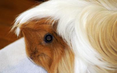 Nastolatka z Brazylii wsadziła świnkę morską do mikrofalówki. Film w internecie