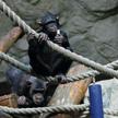 Szympansy na razie nie mają potomostwa
