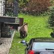 Niedźwiedź w centrum Zakopanego. Przeszukiwał śmietniki.
