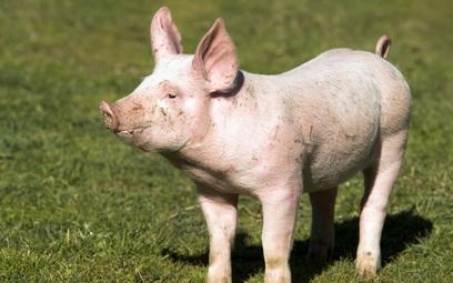 Lotnisko w Amsterdamie zatrudniło świnie