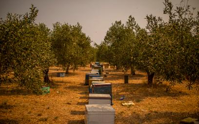 Po pożarach w Grecji zabraknie miodu. We Francji też fatalnie
