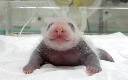 Narodziny pandy wielkiej. Pierwsze w Korei Południowej