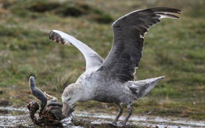 Dania: 90 proc. martwych ptaków miało w żołądkach plastik