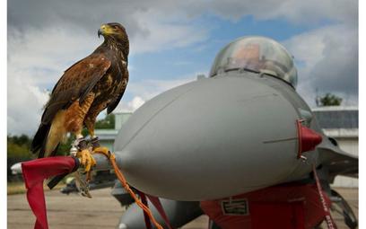 Jastrząb siedzący na samolocie F-16 w czasie Air Show w Radomiu w 2013 r.