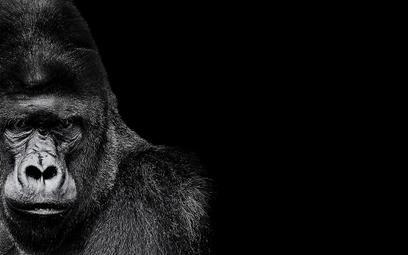 Naukowcy: Goryle są mądrzejsze niż przodkowie człowieka