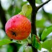 Rośnie oferta lekkich alkoholi z jabłek. Grupa Żywiec wprowadza trzeci wariant smakowy pod marką Str