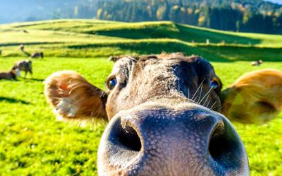 Krowy z Deszczna uratowane? Niekoniecznie