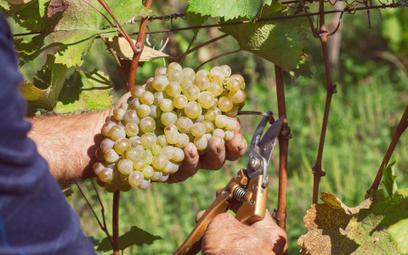 NSA: drożdże winiarskie to żywność