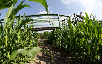 Węgry niszczą genetycznie zmodyfikowaną kukurydzę