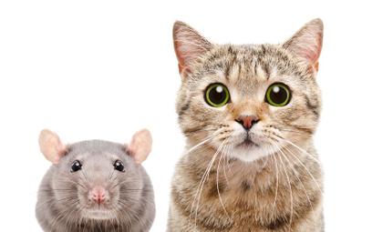 Bezdomne koty unikają szczurów