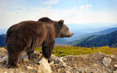 Tragiczny wypadek z udziałem niedźwiedzia. Nie żyje jedna osoba