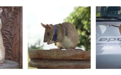 Kambodża: Szczur odznaczony medalem za wykrywanie min