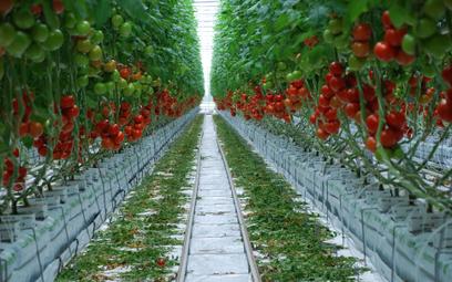 Roboty pomogą farmerom przy uprawie pomidorów