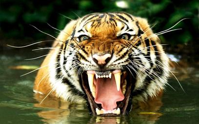 Wpadł zabójca tygrysów. Zabijał przez 20 lat