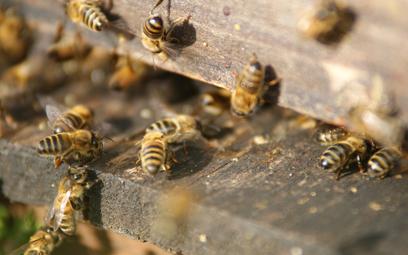 Ratunek dla pszczół. W Lublinie opracowano przełomowy lek