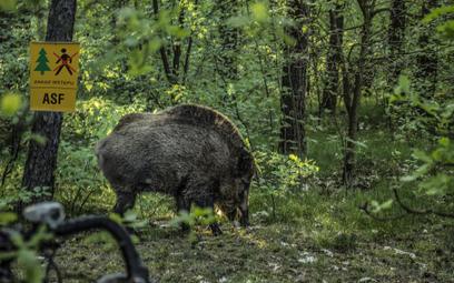 ASF: Niemcy zgodzili się na większy odstrzał dzików