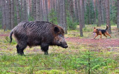 ASF: PiS przepycha ustawę o polowaniach na dziki ze wszystkimi kontrowersjami