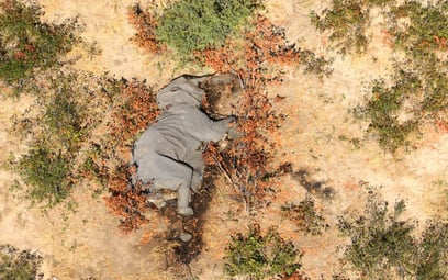 To sinice zabiły setki słoni w Botswanie