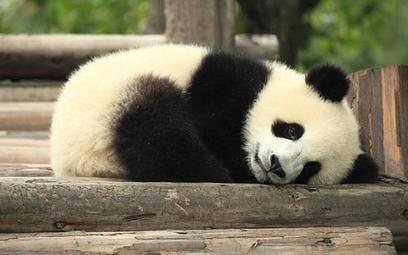 Pandy nie są już zagrożonym gatunkiem
