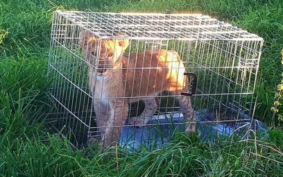 Holandia: Biegacz znalazł porzuconego małego lwa