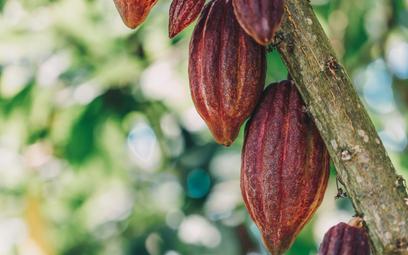 Kapryśna pogoda niszczy kakao w Kamerunie