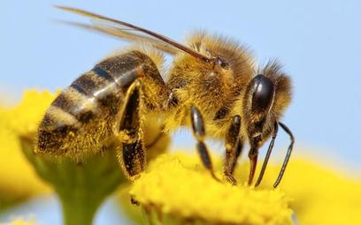 Za znikanie pszczół naukowcy winią pestycydy nowej klasy