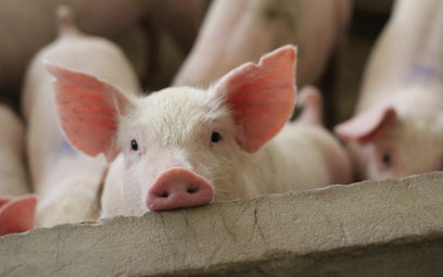 Sajgonki z wegańską wieprzowiną. Pierwsze będą Chiny