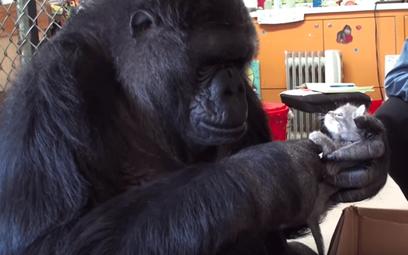 Nie żyje Koko, goryl, który rozmawiał
