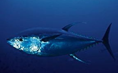 Tuńczyki są mniej liczne