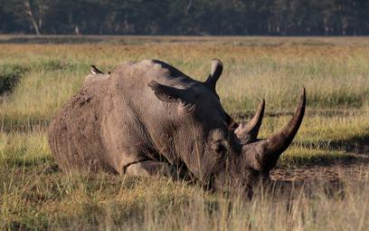 Trwa wojna o przetrwanie nosorożców
