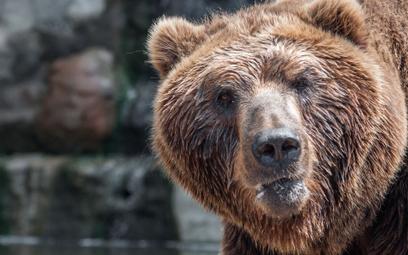 Niedźwiedzie w Rosji nie mają co jeść. Zaatakują ludzi?