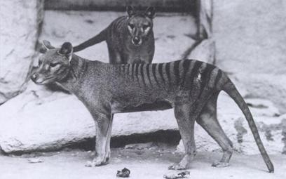 Australia: Wilkowór tasmański jednak nie wyginął?