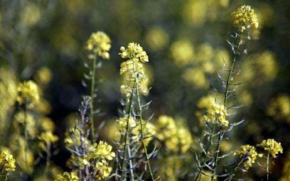 Koncerny kontra biopaliwa