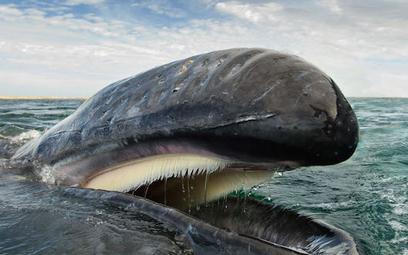 Wieloryby ratują klimat
