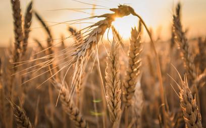 Pszenicy w tym roku będzie mało. Ceny chleba mocno wzrosną