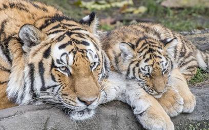 Tygrys z zoo w Nowym Jorku zakażony koronawirusem