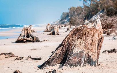 Fragmenty pni drzew sprzed 3 tys. lat – odkryte na plaży po sztormie, Słowiński Park Narodowy