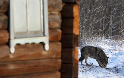 Swoboda dla wilków musi państwo kosztować