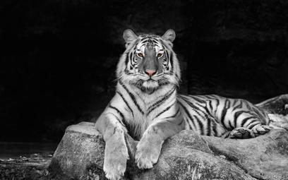Japonia: Pracownik zoo zabity przez tygrysa